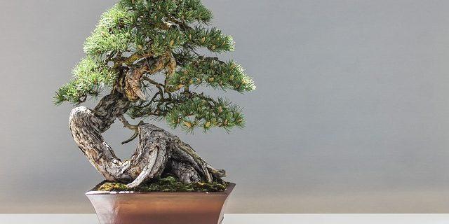 Ficus, un bonsai bello tutte le stagioni. Ecco come prendersene cura